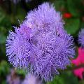 Agerato Celestino (Ageratum houstonianum)