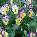 Prodotto da confezionare (Viola cornuta)
